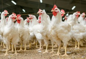: 39038898 - modern chicken farm, production of white meat